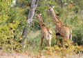 Giraffes (Giraffa camelopardalis) Royalty Free Stock Photo