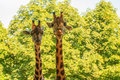 Giraffes giraffa camelopardalis a couple of rising their heads Royalty Free Stock Images