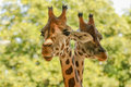 Giraffes giraffa camelopardalis a couple of rising their heads Royalty Free Stock Image