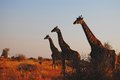 Giraffes giraffa camelopardalis at sunrise in kruger national park Royalty Free Stock Image