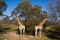 Giraffes grazing in the african savannah Stock Images