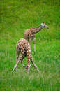 Giraffes in a habitat articulated graze michigan Stock Images