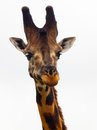 Giraffes head close up on white background Royalty Free Stock Image