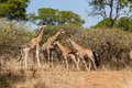 Giraffes herd calf s wildlife family with mothers protecting in bush Stock Photography