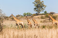 Giraffes herd calf s wildlife family with mothers protecting in bush Royalty Free Stock Photography