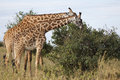 Giraffes, Kenya Stock Photos