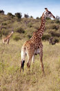 Giraffes, Kenya Royalty Free Stock Photos