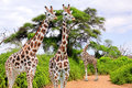 Giraffes in kruger park south africa Royalty Free Stock Photography
