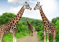 Giraffes in kruger park south africa Stock Photo