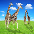 Giraffes love on green meadow Royalty Free Stock Photos