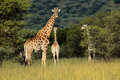 Giraffes in natural habitat Royalty Free Stock Photo