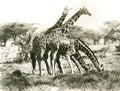 Giraffes out grazing