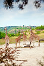 Giraffes par des buissons Photos stock