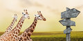 Giraffes in prairie Stock Photo