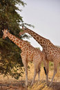 Giraffes from Sahel, Niger Royalty Free Stock Images