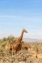 Giraffes in the savanna Royalty Free Stock Photo