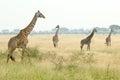 Giraffes in serengeti a group of four giraffa camelopardalis the grass of savannah national park tanzania Royalty Free Stock Photo
