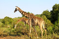 Giraffes at serengeti national park Stock Image