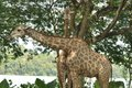 Giraffes in Singapore Zoo Royalty Free Stock Photo