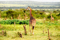 Giraffes standing in the African savannah.On safar Royalty Free Stock Photo