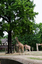 Giraffes standing in their yard at zoo berlin germany Stock Images