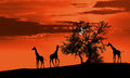 Giraffes at sunset Stock Photos