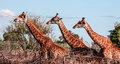 Giraffes three posing and blue sky Royalty Free Stock Photo