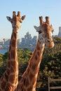 Giraffes in urban zoo Royalty Free Stock Photo