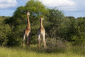 Giraffes in the wilderness in Africa Royalty Free Stock Photos