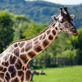 Giraffes in the zoo Stock Photos