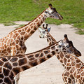 Giraffes in the zoo Stock Image
