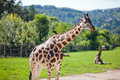 Giraffes in the zoo Stock Photography