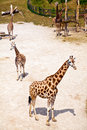 Giraffes in Zoo Stock Image
