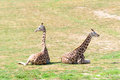 Giraffes in the zoo prague czech republic two horizontal photo Royalty Free Stock Image