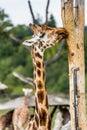 Giraffes in the zoo safari park Royalty Free Stock Photos