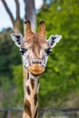 Giraffes in the zoo safari park Royalty Free Stock Image