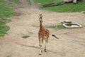 Giraffes in a Zoo Royalty Free Stock Photo