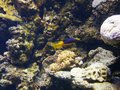 Picture : Girelle yellow head and blue at the Gosier aquarium in Guadeloupe  on