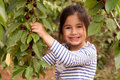 Girl collects and eats cherries in the garden Royalty Free Stock Photo
