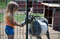 Girl feeding goat a little feeds a at a children s petting zoo Stock Images