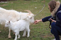 Girl feeds a goat at the yard Royalty Free Stock Photo