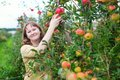 Girl gathering apples on a farm organic Royalty Free Stock Image