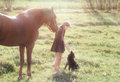 Girl leads her horse and stroking black dog on the sunlit field Stock Photography