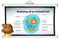 Girl looking at diagram of animal cell Royalty Free Stock Photo