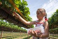Girl picking strawberries young in the farm Royalty Free Stock Image