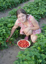 Girl picking strawberry in the field Royalty Free Stock Photo
