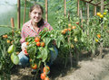 Girl picking  tomato  in the hothouse Stock Image