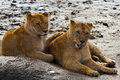 Girlfriends two lionesses relaxing in the snow Royalty Free Stock Photography