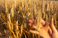 Girls hand holding ear of wheat abstract food concept Stock Images