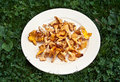 Girolle or chanterelle mushrooms golden on a white plate ourdoors in green clover and grass Stock Photos